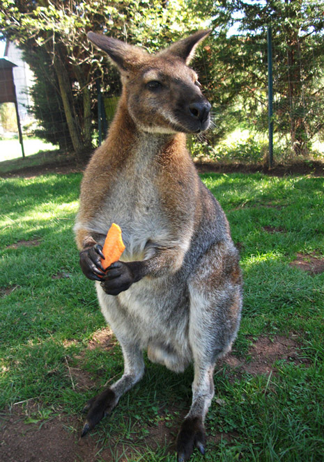 Le Wallaby
